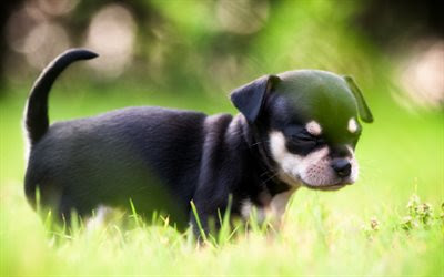 Download wallpapers Chihuahua, lawn, puppy, dogs, black chihuahua, cute animals, pets, Chihuahua Dog besthqwallpapers.com