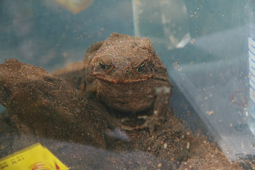 Cane Toad Bufus marinus