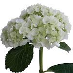 Hydrangea 10 White Mini Hydrangeas Bulk Flowers by GlobalRose