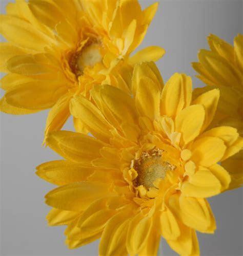 24 Royal Yellow Gerbera Daisy Sprays