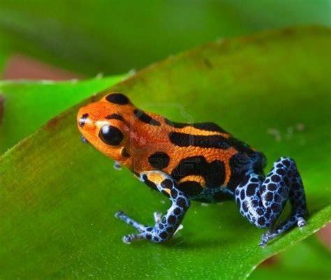 red poison dart frog sitting  green leaf  amazon rain