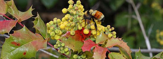 Μαόνια (Mahonia aquifolium)