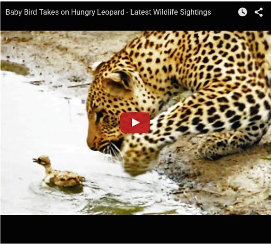 Video: Baby Bird vs Hungry Leopard