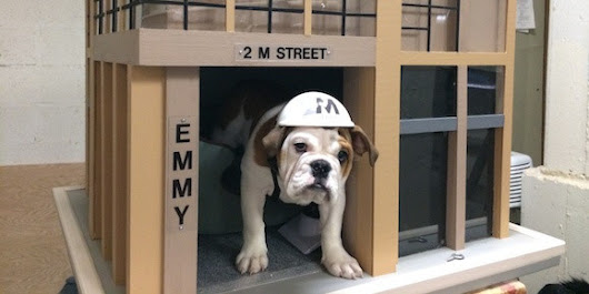 Communal Bulldog Makes Every Apartment Dweller's Dream Come True