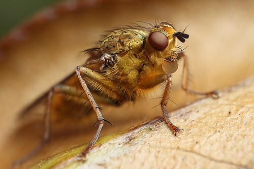 Golden dungfly bubble blowing