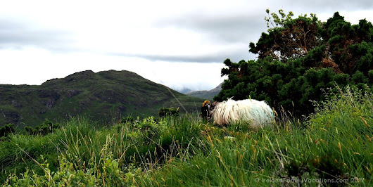 Woolly Sheep Grazing in Connemara National Park | Ireland Family Vacations