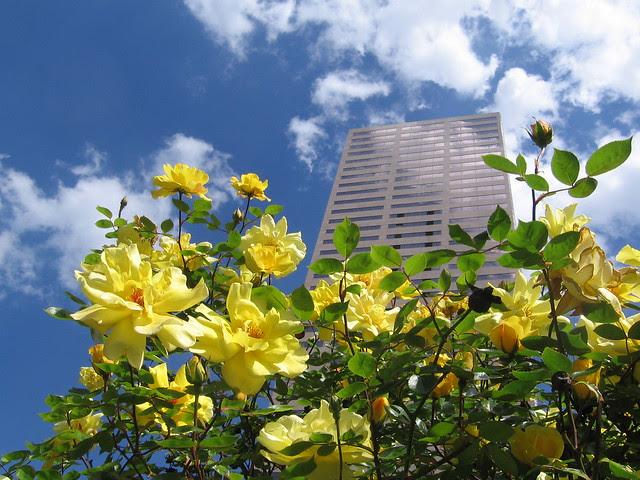 yellow roses, sw broadway & burnside