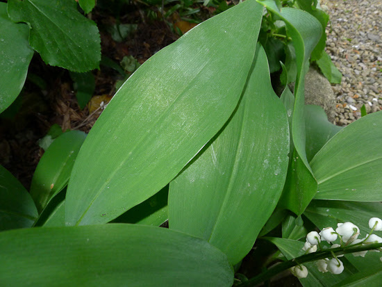 How To Avoid Mistaking Lily Of The Valley For Ramsons