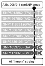 Thumbnail of Diagram of single nucleotide polymorphism (SNP) assays used for bioforensic genotyping of heroin-associated Bacillus anthracis strains. Shown are the results of PCR-based SNP assays performed to elucidate the phylogenetic position of strains. Indicated at the top of the column is the whole strain pool of B. anthracis genotype A.Br. 008/011; the vertical black line indicates the assays in a direction of revealing increasing proximity to the heroin-associated strains. SNPs common to t