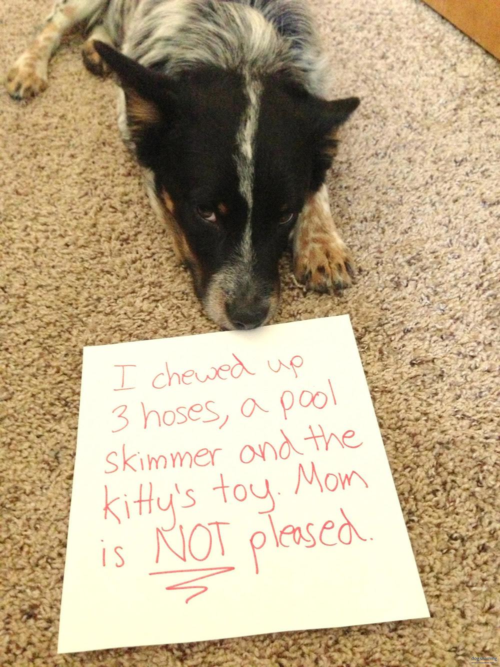 dog shaming 09 32 Hillarious Public Shaming of Dogs