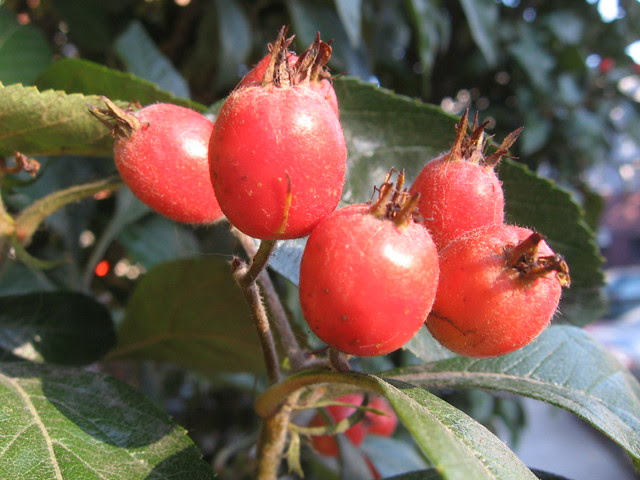 2nd_ash_berries