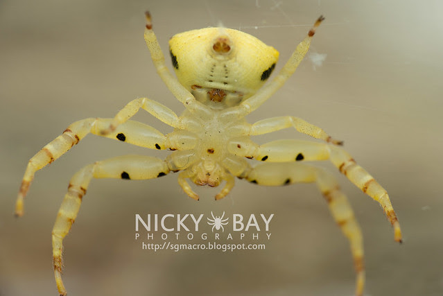 Crab Spider (Thomisidae) - DSC_5142