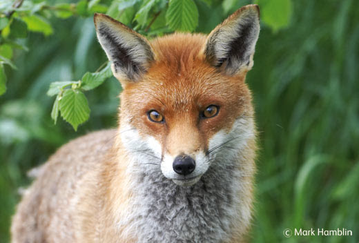 Help ban fox hunting in Scotland for good