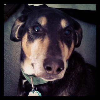 Teutul says Good Morning Instagram! #dogstagram #instadog #ilovemydogs #Rescued #coonhoundmix #houndmix #adoptdontshop