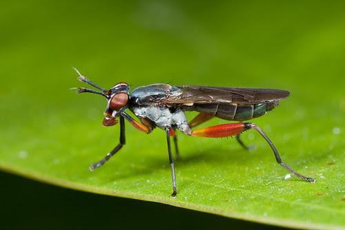 Marsh fly Sciomyzidae IMG_3018 copy