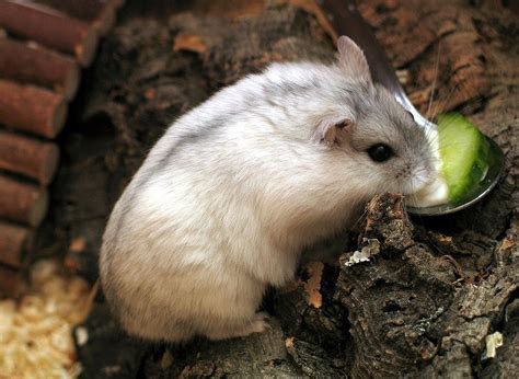 ABCs of Animal World: The Cutest Hamsters in the World