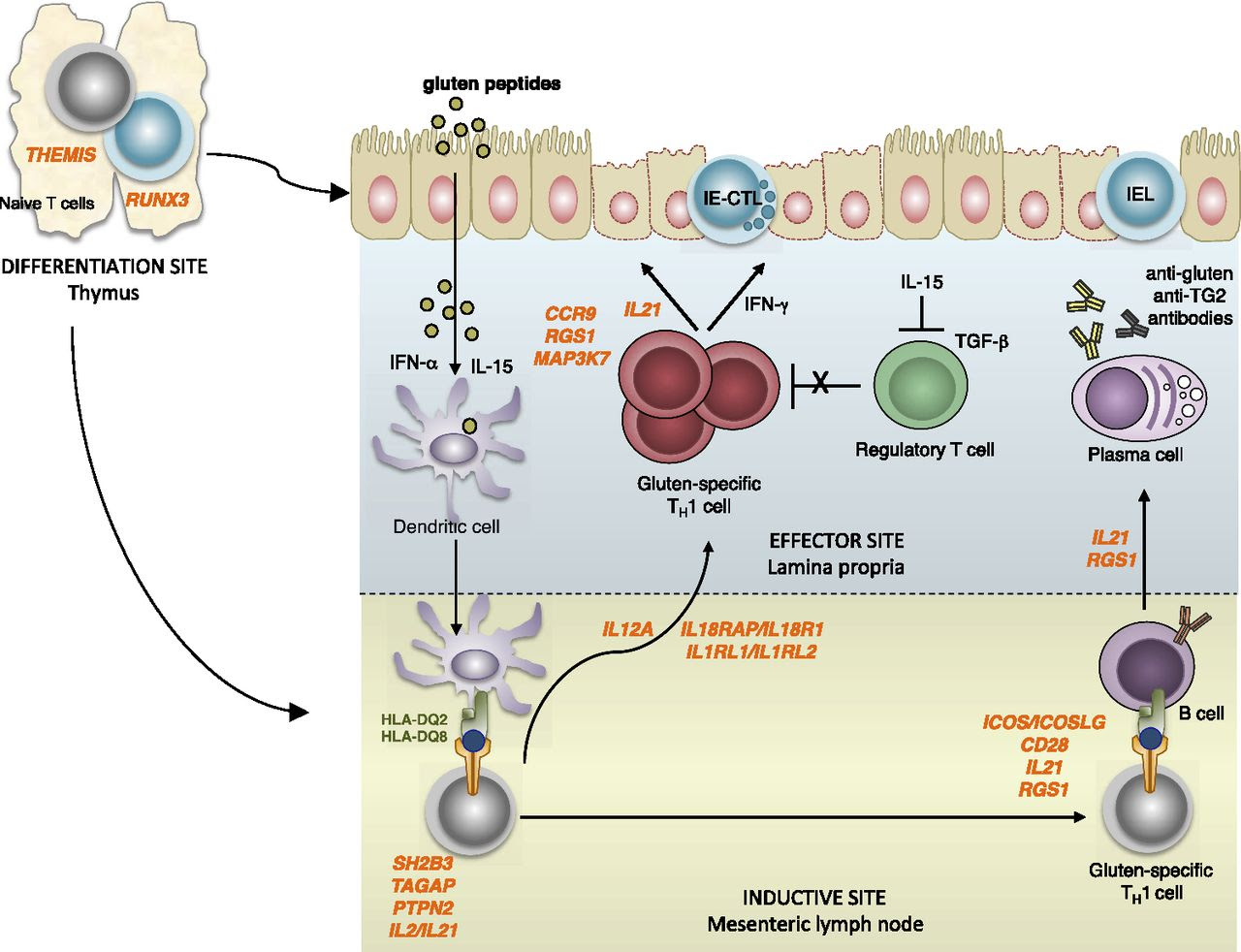 T Cells in Celiac Disease | The Journal of Immunology