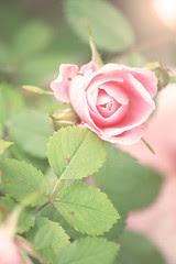 Roses: sun kissed