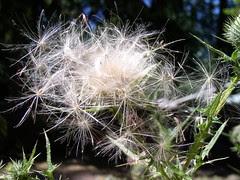 thistle seeds.JPG