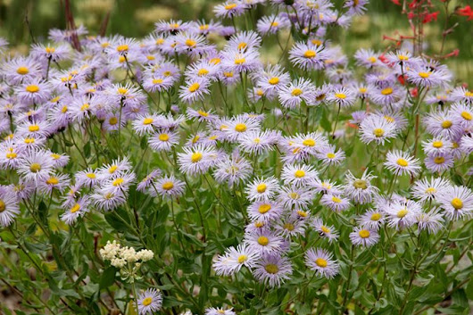 Asters: How to Grow, Care, and Design with These Fall Flowers - Garden Design