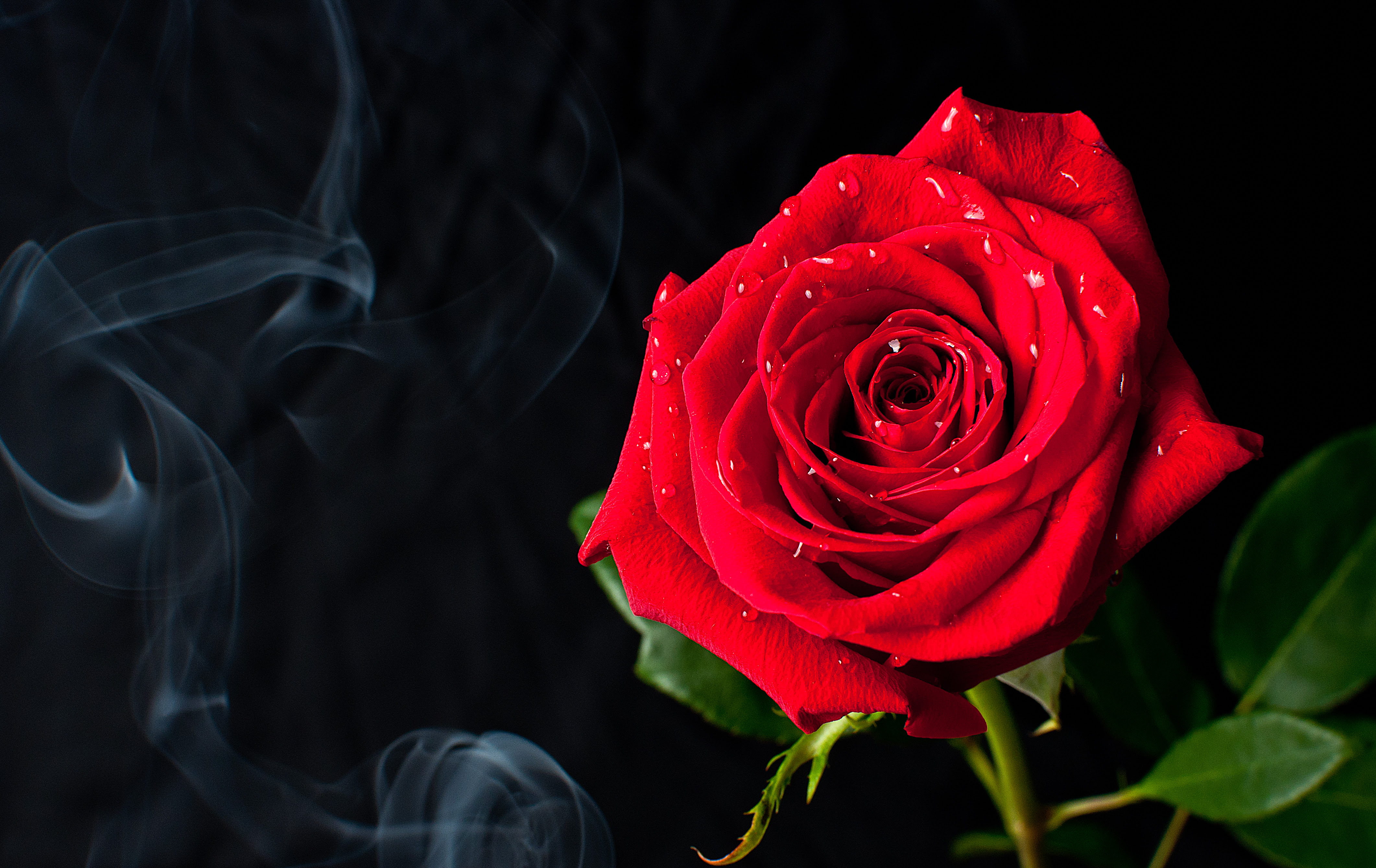 フリー写真素材花植物薔薇バラ赤色の花画像素材なら無料