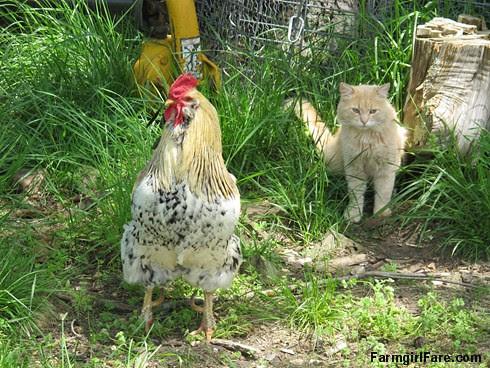 Jasper meets Rooster Andy (1) - FarmgirlFare.com