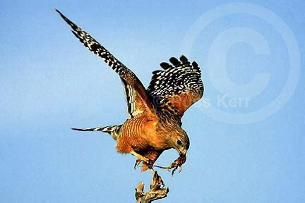 Red shouldered Hawk photo flying with prey by Russ Kerr, photo picture of Red shouldered Hawk