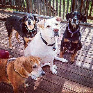First play day on the #deck of the season! #dogstagram #adoptdontshop #happydog #dogs #love