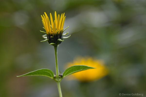 yellow, flower opening