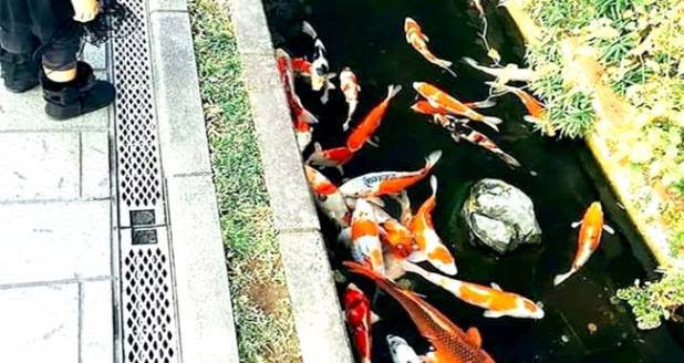 Drainage Canals In Japan Are So Clean That It Has Fishes In It