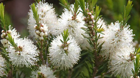 aromatherapy-blog - Exploring the Myrtaceae plant family and its essential oils