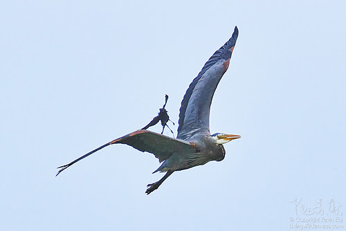 Great Blue Heron and Brewer's Blackbird in Midair Tussle, Skagit County, Washington