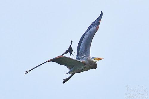 Great Blue Heron and Brewer's Blackbird in Midair Tussle, Skagit County, Washington