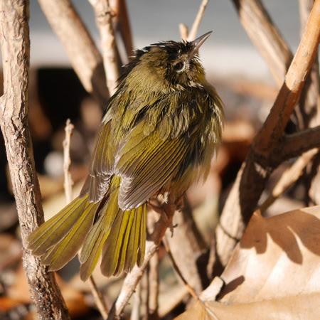 Ed Gaillard: birds &emdash; Common Yellowthroat, Bryant Park