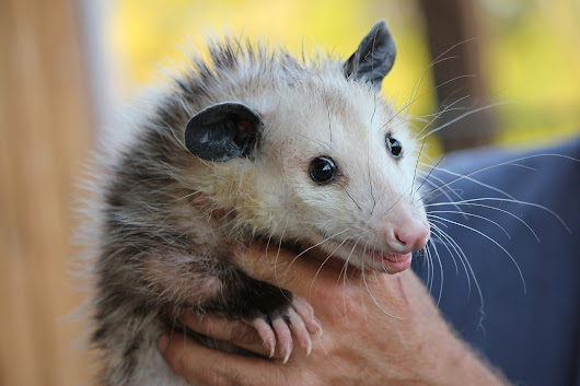 Amazing Facts About the Opossum - Knowledge Stew