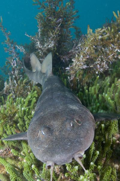 bling shark