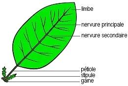 Une feuille simple possède un seul limbe continu