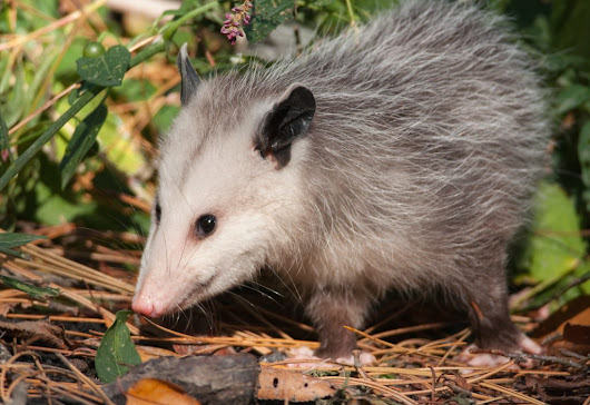 How To Get Rid of Opossums & Tips on Possum Control | Animal Control Specialists