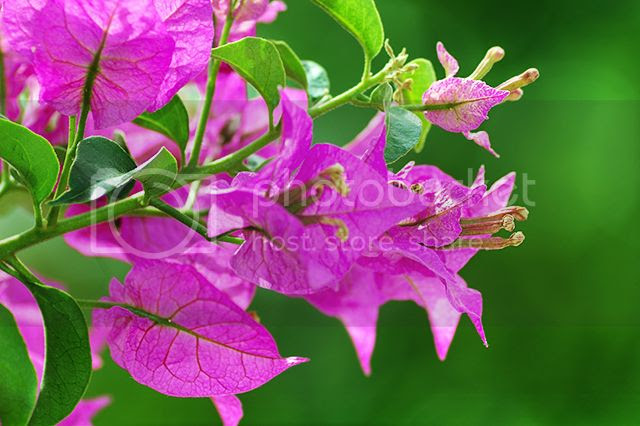 Purple Bougainvilleas Detail [enlarge]