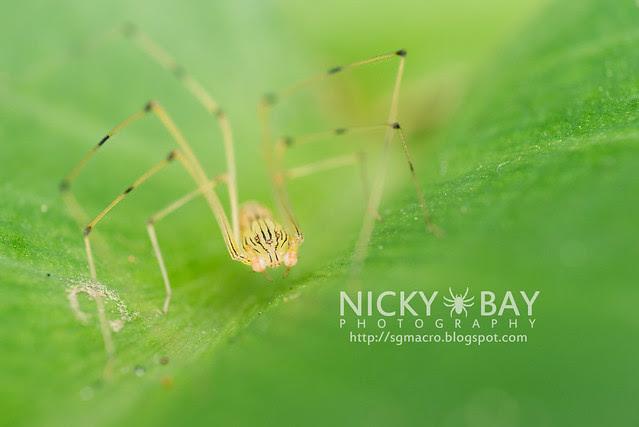 Spitting Spider (Scytodidae) - DSC_5100