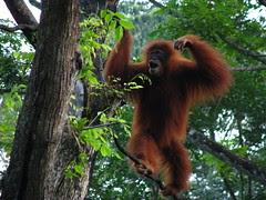 Roaming the tree tops at Singapore zoo. [IMG_4676]