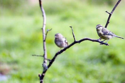 'Blue Tits on branch' by John Messingham