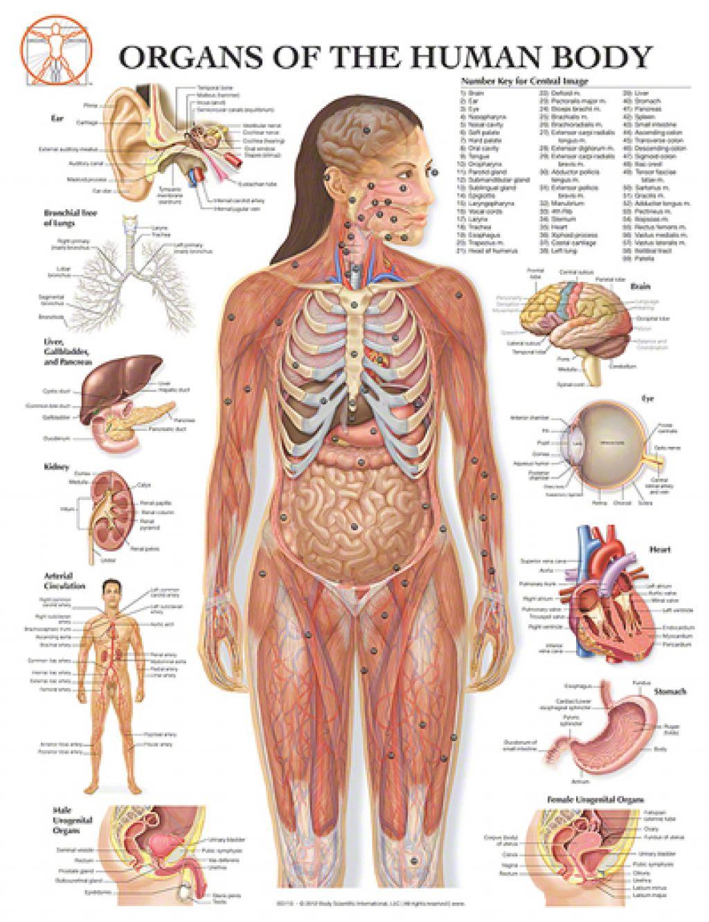 human body diagram with parts - human anatomy  human anatomy