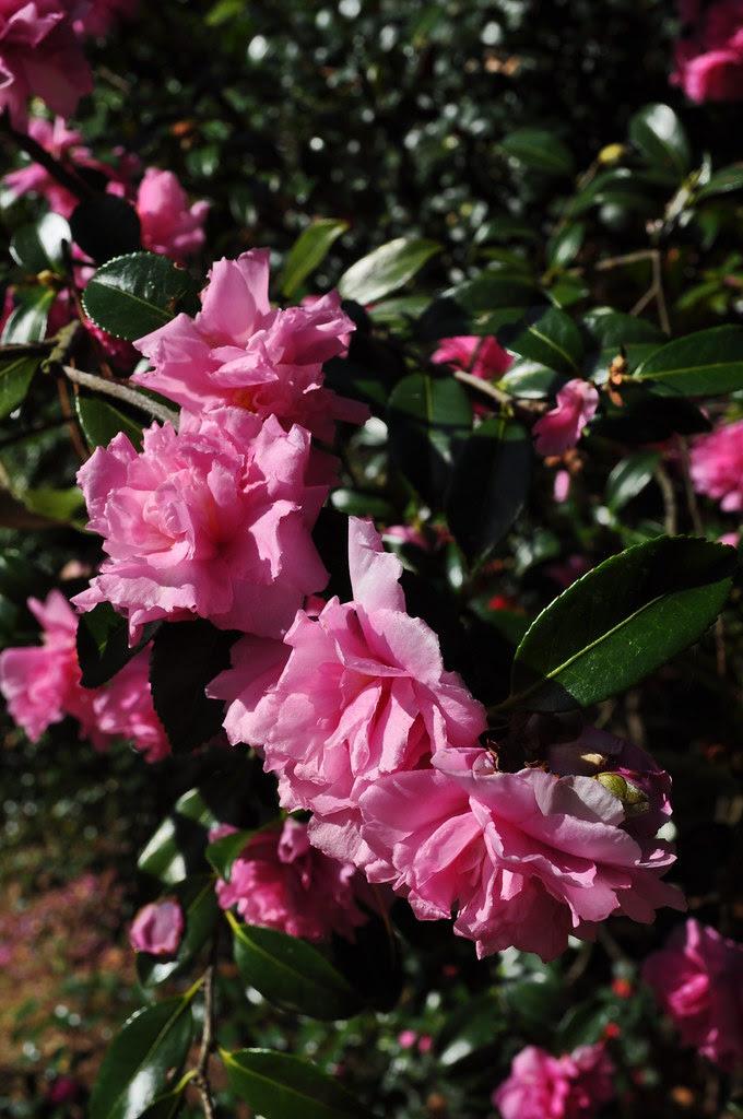Camellia sasanqua 'Sparkling Burgundy' 2