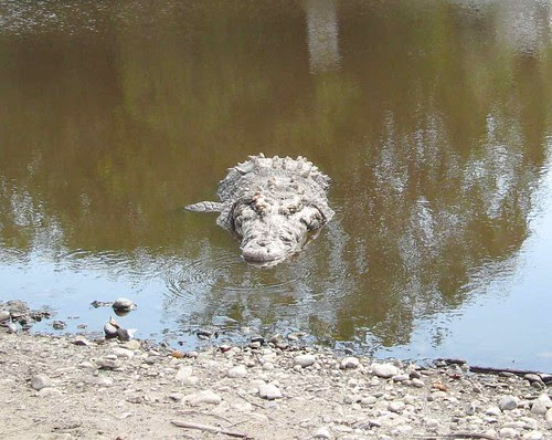 Crocodile closeup