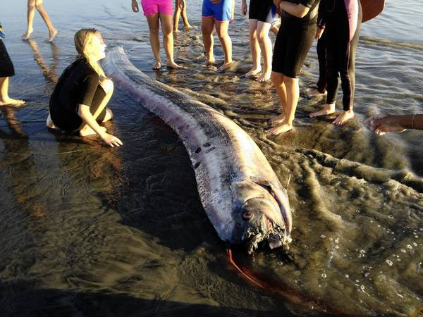 An oarfish that washed up on the beach near Oceanside measured nearly 14 feet.