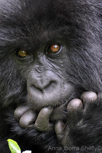 Planning a baby gorilla prank