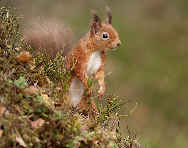 Red Squirrel on mossy mound