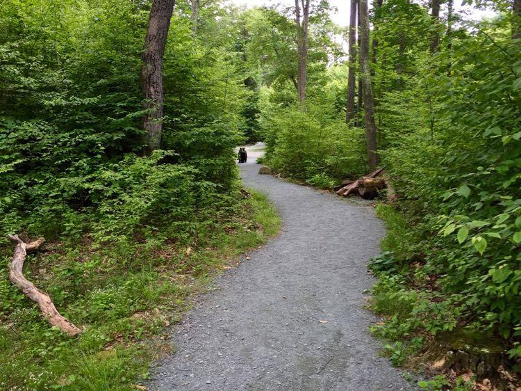 Black bear on Limberlost Trail Shenandoah NP