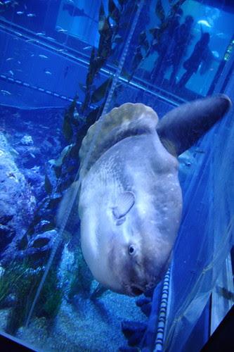Sunfish (mola mola) in the Osaka Aquarium